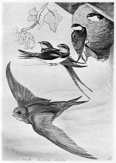 BLACKBURN: BIRDS, 1895. 'Swift, Chimney Swallow, Martin