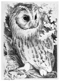 BLACKBURN: BIRDS, 1895. 'Tawny Owl.' Illustration by Jemima Blackburn, 1895