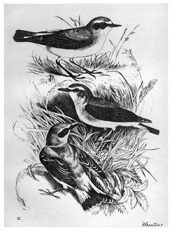 BLACKBURN: BIRDS, 1895. 'Wheatear.' Illustration by Jemima Blackburn, 1895