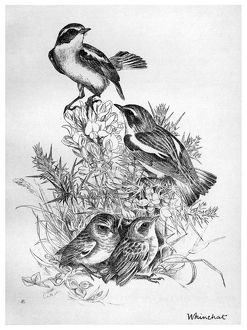 BLACKBURN: BIRDS, 1895. 'Whinchat.' Illustration by Jemima Blackburn, 1895