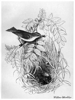 BLACKBURN: BIRDS, 1895. 'Willow Warbler.' Illustration by Jemima Blackburn, 1895