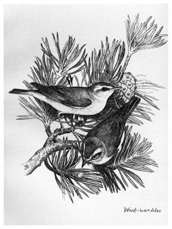 BLACKBURN: BIRDS, 1895. 'Wood Warbler.' Illustration by Jemima Blackburn, 1895