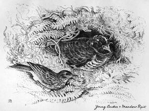 BLACKBURN: BIRDS, 1895. 'Young Cuckoo and Meadow Pipit