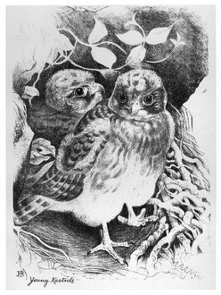 BLACKBURN: BIRDS, 1895. 'Young Kestrels.' Illustration by Jemima Blackburn, 1895