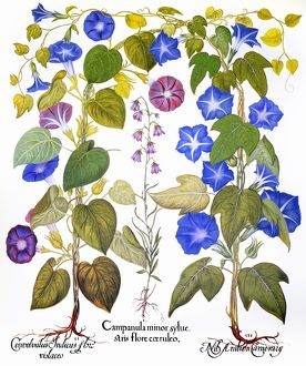 BLUEBELL AND MORNING GLORY. /nCommon morning glory (Convolvulaceae), Bluebell (Campanulaceae)