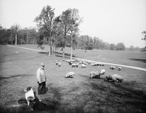 BROOKLYN: PROSPECT PARK. Sheep grazing in Prospect Park, Brooklyn, New York. Photograph