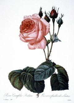 CABBAGE ROSE /n(Rosa centifolia). Engraving after painting, 1833, by P.J. Redoute.