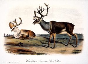 CARIBOU (RANGIFER CARIBOU): lithograph, 1846, after the painting by John James Audubon.