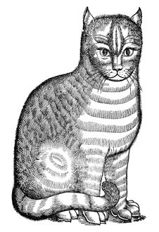 CAT. Woodcut from Edward Topsell's 'The History of Four-Footed Beasts,' London