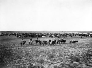 american history/cattle herding c1905 cowboys large herd cattle