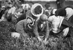 agriculture/child labor 1911 seven year old boy picking