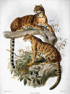 CLOUDED LEOPARD, 1883. Clouded Leopard (Panthera nebulosa). Lithograph, 1883.