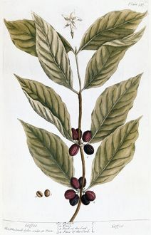 COOFFE PLANT, 1735. Engraving by Elizabeth Blackwell from her book 'A Curious
