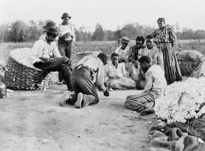 african american history/cotton pickers 1900 african american migrant