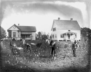 african american history/cotton picking 1902 picking school cotton crop mt