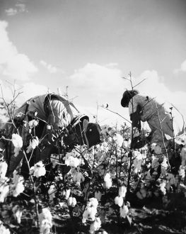 COTTON PICKING. Two cotton pickers on a plantation in the American South