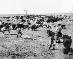 COWBOYS, c1905. Cattle being branded by three cowboys on a ranch in western America