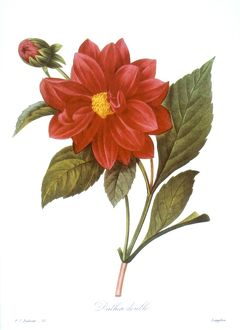 DAHLIA (DAHLIA PINNATA). /nEngraving after a painting, 1833, by P.J. Redoute.