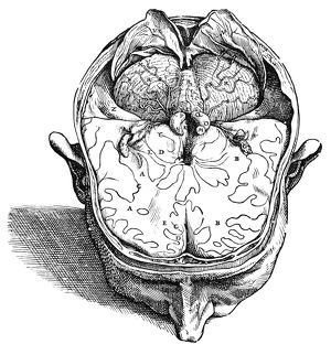 Dissection of the brain (fig. 8). Woodcut from the seventh book of Andreas Vesalius&#39