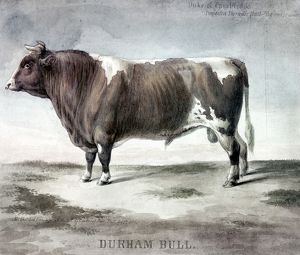DURHAM BULL, 1856. 'Duke of Cambridge, Durham Bull.' Watercolor sketched from life by August Köllner, at the U.S. Agricultural Fair in Philadelphia, 1856.