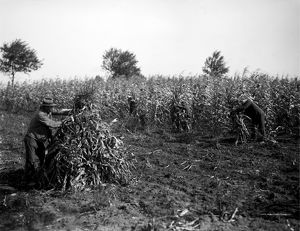 FARMING: CORN, c1905. Farm workers cutting and binding corn by hand. Photograph, c1905