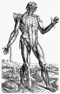 The fifth plate of the muscles. Woodcut from the second book of Andreas Vesalius&#39