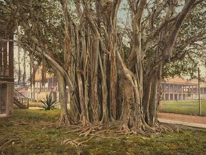 FLORIDA: RUBBER TREE, c1900. Rubber tree in the U.S. Army barracks at Key West, Florida
