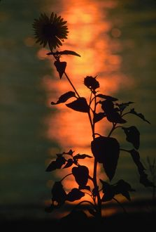 FLOWER AT SUNSET. A flower on the banks of the Mississippi River at sunset