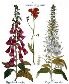 FOXGLOVE AND HAWKWEED. /nFrom left to right: common pink foxglove (digitalis flore rubro)