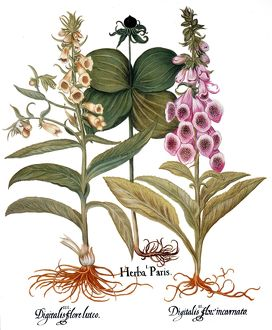 FOXGLOVE AND HERB PARIS. /nFrom left to right: yellow foxglove (digitalis flore luteo)