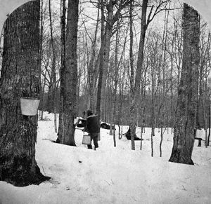 GATHERING SAP, c1900. Gathering sap for maple syrup in the Green Mountains, Vermont
