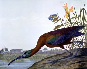 GLOSSY IBIS (Ibis falicinellus). Lithograph, 1858, after John James Audubon.