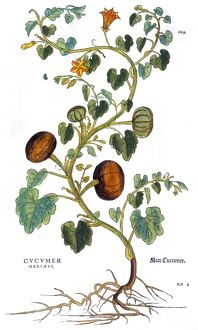 GOURD, 1735. Gourd (cucumis marinus). Engraving by Elizabeth Blackwell from her book