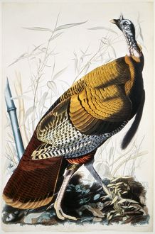 GREAT AMERICAN TURKEY cock, by John James Audubon.
