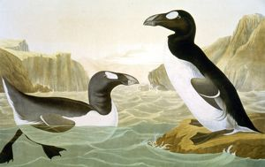 GREAT AUK (ALKA IMPENNIS): lithograph, 1858, after John James Audubon.