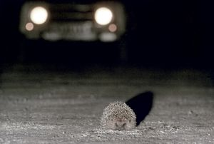 A HEDGEHOG (Erinaceus europaeus) in the path of an on-coming car.