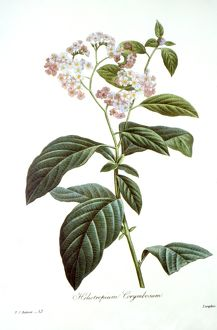 HELIOTROPE /n(Heliotropium arborescens). Engraving after a painting, by P.J. Redoute.