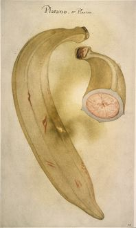 HORN PLANTAIN, 1585. (Musa paradisaica). Watercolor, c1585, by John White.