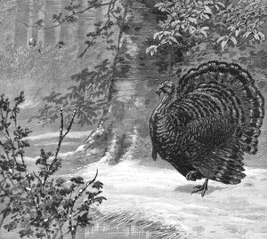 HUNTING: WILD TURKEY, 1886. Hunting the wild turkey - The love-sick gobbler lured to ruin