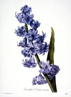 HYACINTH /n(Hyacinthus orientalis). Engraving after painting, 1833, by P.J. Redoute.