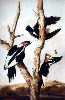 IVORY-BILLED WOODPECKERS. Oil on canvas, c1820, by John James Audubon.