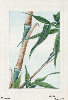 A Japanese drawing of the stalk and leaves of the take bamboo plant.