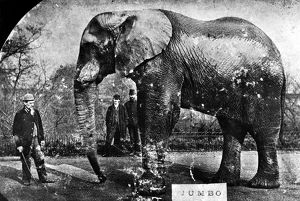 JUMBO, c1882. Jumbo the elephant, photographed around the time he was purchased by P