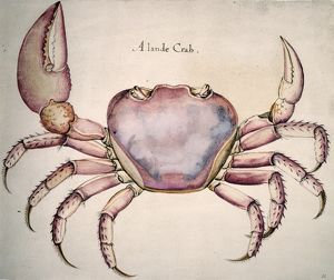 LAND CRAB (Cardisoma guanhumi). Watercolor, c1585, by John White.