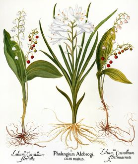 LILY-OF-THE-VALLEY /n(Convallaria majalis). St. Bruno's lily (Paradisea liliastrum)