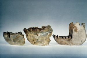 LOWER JAWBONES. Lower jawbones of Gigantopithecus (left and center) and gorilla (right).