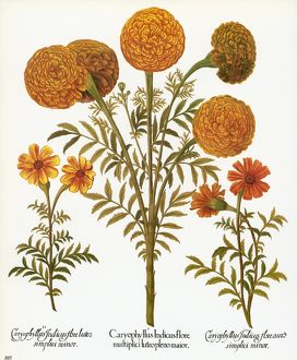 MARIGOLDS, 1613. /nMultiflorous Aztec marigold, or African marigold, with French