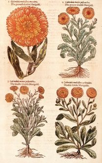 MARIGOLDS. Marigolds (Calendula officinalis), from the first edition of John Gerard's Herball