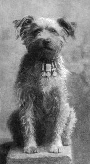 MILITARY DOG, 1902. 'Drummer,' a decorated dog with the Northumberland Fusiliers