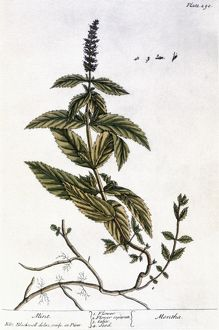 MINT PLANT, 1735. Mint (mentha). Line engraving by Elizabeth Blackwell for her book